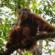 Descruben nueva especie de orangután en Indonesia